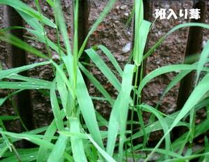 班入り葦=涼しげな水辺の植物、3本