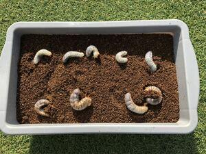 国産カブトムシ幼虫9匹