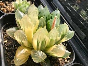 多肉植物 ハオルチア オブツーサー錦 斑落ちタイプ