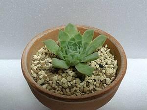 ヒアリナラパス エケベリア 抜き苗 多肉植物