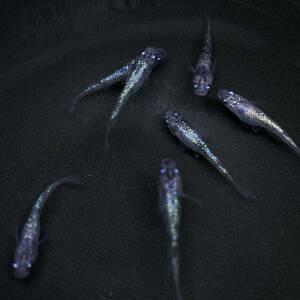 【Tochigi Medaka】白ブチラメ幹之サファイア系3ペア+♀1 極上 種親クラス 静楽庵血統 G3751 めだか メダカ