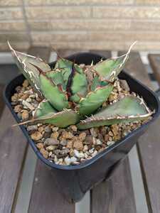 アガベ チタノタ Fo076 agave titanota