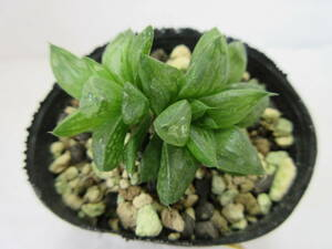 14 氷砂糖 多肉植物 ハオルチア