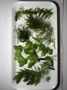 無農薬 水草6種セット アナカリス マツモ ウィローモス アマゾンフロッグピット ナヤス 青ウキクサ メダカ グッピー シュリンプに