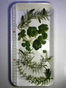 無農薬 水草5種セット マツモ ナヤス アナカリス アマゾンフロッグピット アオウキクサ メダカ ヌマエビ グッピーに