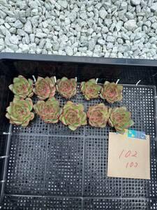 韓国多肉植物 韓国苗 エケベリア Echeveria 20- 102ムーンストーン10個(岡山在庫)★(10/28岡山発送)