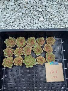 韓国多肉植物 韓国苗 エケベリア Echeveria 20- 103ムーンストーン15個(岡山在庫)★(10/28岡山発送)