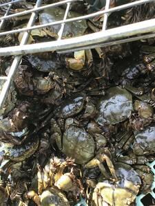 モクズガニ 小1kg 2,000円 モクズ蟹 もくずがに もくず蟹 ツガニ ズガニ 川ガニ