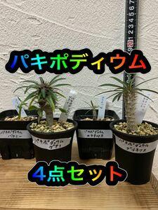 【実生】パキポディウム4点セット(グラキリス、カクチペス、ゲアイ、バロニー)