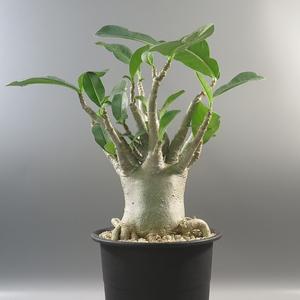 SALE!!! 6. アデニウム ☆ Adenium Thai Socotranum ★ 塊根 ☆ コーデックス ★ 盆栽