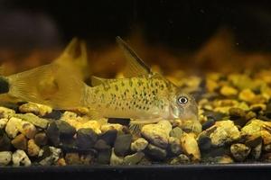 【淡水魚】コリドラス オガワエ リオ アンブレ産 ワイルド【1匹サンプル画像】(±5cm)(コリドラス)