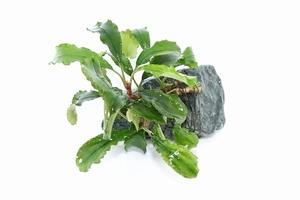 【水草】国産 ブセファランドラ シンタン 2株石付き (無農薬)【1個】(陰性水草)