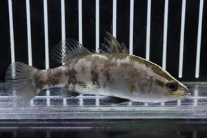 【淡水魚】超大特価 大きめ 人工飼料OK オーストラリアンバラマンディ【1匹 サンプル画像】(±10-15cm)