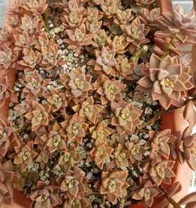 ブロンズ 多肉植物 苗 Bronz 2カット(小) セット エケベリア