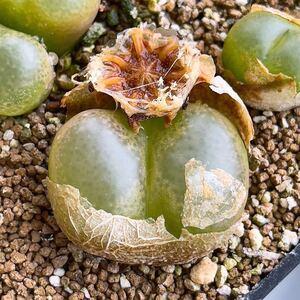 自家採種*コノフィツム・マウガニー 1430.4 種子10粒*多肉植物