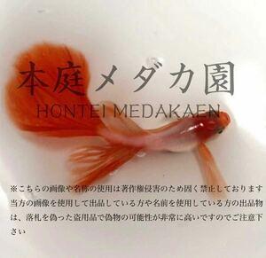 ◆本庭メダカ園◆ 牡丹銀メタヒレ長「プラチナドレスコート」の卵10+α個 ①