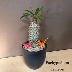 恐竜フィギュア2体付き パキポディウム 6寸 ラメレイ コーデックス ラメリー 塊根植物 観葉植物 多肉植物
