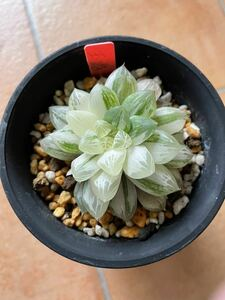 +多肉植物+ハオルチア 玉露錦