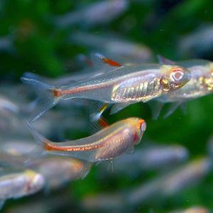 ★即決★熱帯魚★アルビノグローライトテトラ 10匹セット ★