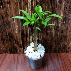 コルジリネ ゴールデンストライプ 観葉植物 ハイドロカルチャー