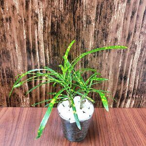 クロトン 観葉植物 ハイドロカルチャー
