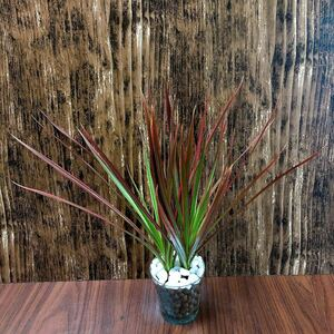ドラセナ レインボー 観葉植物 ハイドロカルチャー