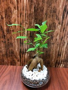 ガジュマル 大きいサイズ 観葉植物 ハイドロカルチャー