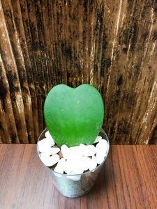 ホヤ カーリー ラブハート 観葉植物 ハイドロカルチャー 多肉植物