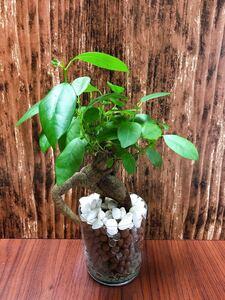 ガジュマル 観葉植物 ハイドロカルチャー