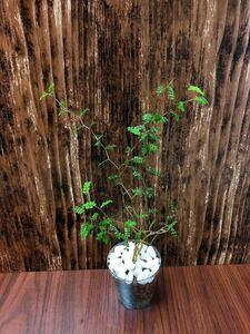ソフォラ リトルベイビー メルヘンの木 観葉植物 ハイドロカルチャー