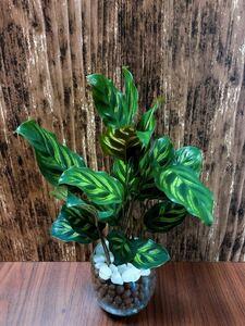 カラテア 観葉植物 ハイドロカルチャー