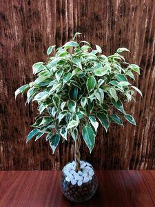 ベンジャミン スターライト 観葉植物 ハイドロカルチャー
