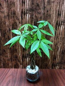 パキラ ねじり 観葉植物 ハイドロカルチャー