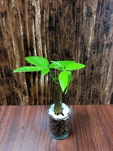 パキラ アクティカ 観葉植物 ハイドロカルチャー