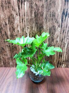 フィロデン セローム 観葉植物 ハイドロカルチャー