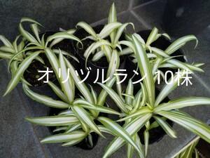 ①オリヅルラン10株