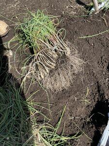信州産 島らっきょう 土付き 約500g 自家栽培