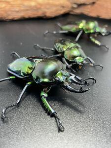 【即ブリ】★★ニジイロクワガタ ★グリーン系 ペア+オマケB品 = 3頭! ♂53ミリ、♀39ミリ、オマケ♂48ミリ
