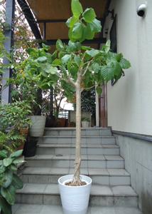 Plant■太い幹のフィカス・ウンベラータ/観葉植物■230cm■太い幹と多数の気根のワイルドな樹形