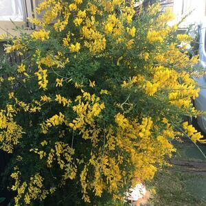 エニシダ 黄色 花 カット苗