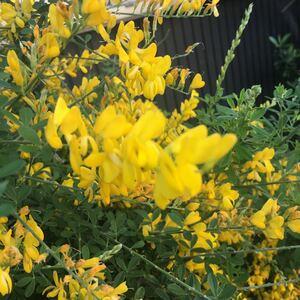 エニシダ 黄色い花 カット苗 素敵