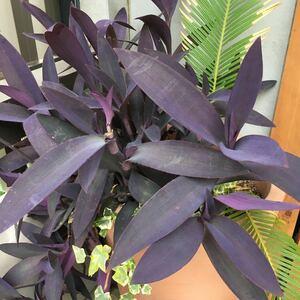 ①ムラサキゴテン 紫御殿 カット苗