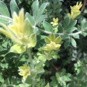 カット苗 ロータス ブリムストーン 葉のグラデーションシルバーグリーン寄せ植え