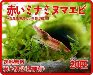 【TKシュリンプ】((宅急便配送 送料無料)) 赤いミナミヌマエビ 20匹 (検索用 ミナミヌマエビ チェリーシュリンプ アナカリス メダカ 金魚).