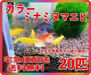 【TKシュリンプ】(宅急便配送 送料無料) カラーミナミヌマエビ 20匹 (検索用 ミナミヌマエビ チェリーシュリンプ アナカリス メダカ 金魚),