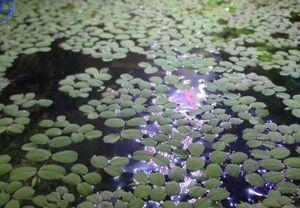 ●水草●サルビニア・ククラータ (浮草) ミニサイズ 50株