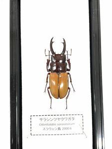 【展足済】サラシンツヤクワガタ 38㎜【標本】