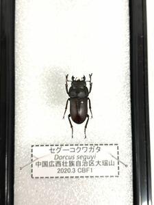 【展足済】セグーコクワガタ 18㎜【標本】