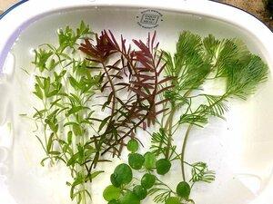 ☆送料無料! ミナミヌマエビ5匹+1匹・無農薬 水草4種セットB 専用ボックス発送 メダカ水槽に♪