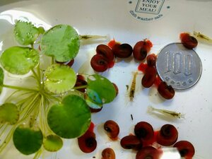 ☆送料無料! ミナミヌマエビ5匹+1匹・レッドラムズホーン5匹+1匹・無農薬 水草3種セットA 専用ボックス発送 メダカ水槽に♪
